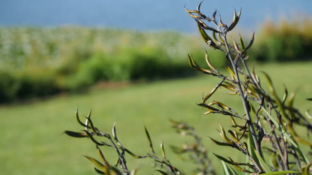 New Zealand flax seed pods move gently in the breeze