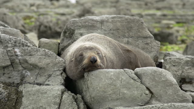 vídeos y material grabado en eventos de stock de foca peluda de nueva zelanda - foca peluda