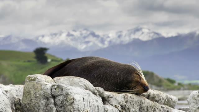 new zealand fur seal - kaikoura stock videos & royalty-free footage