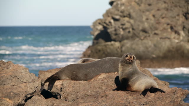 new zealand fur seals (arctocephalus forsteri) - cape palliser, new zealand - seals stock videos and b-roll footage