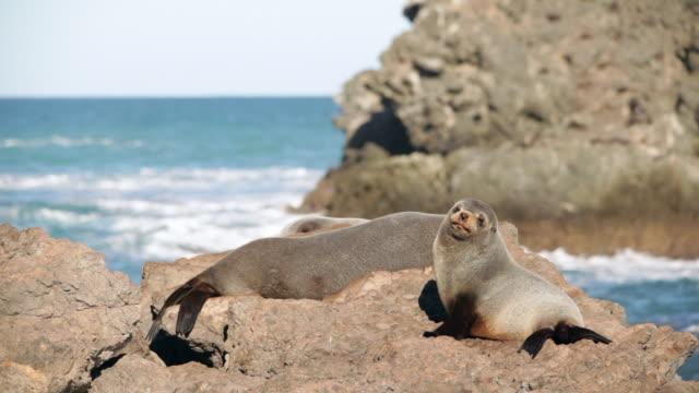 vídeos y material grabado en eventos de stock de new zealand fur seals (arctocephalus forsteri) - cape palliser, new zealand - foca peluda