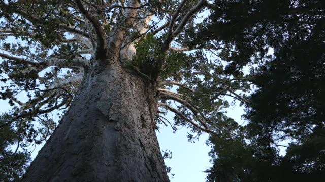 new zealand kauri tree (agathis australis) - jätte uppdiktad figur bildbanksvideor och videomaterial från bakom kulisserna