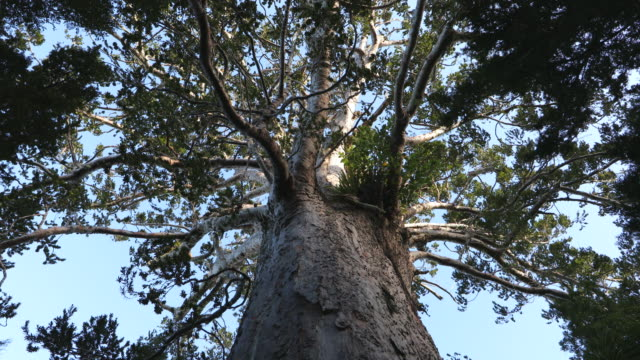 new zealand kauri tree (agathis australis) - large stock videos & royalty-free footage