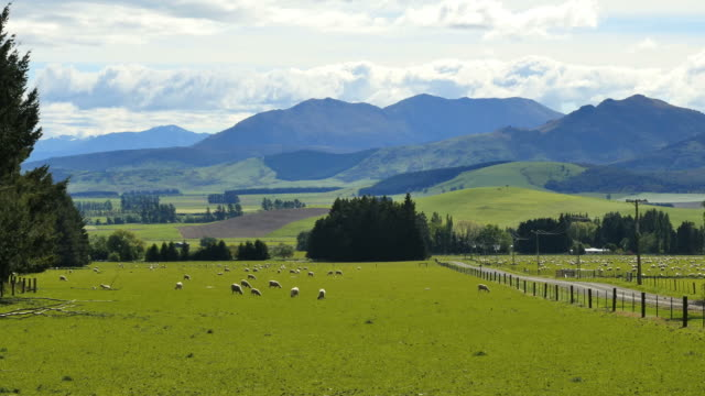 new zealand landscape with sheep grazing - pasture stock videos & royalty-free footage