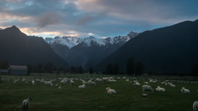 t\l n2d new zealand nature landscape (fox glacier with mt.cook range ) - sheep stock videos & royalty-free footage