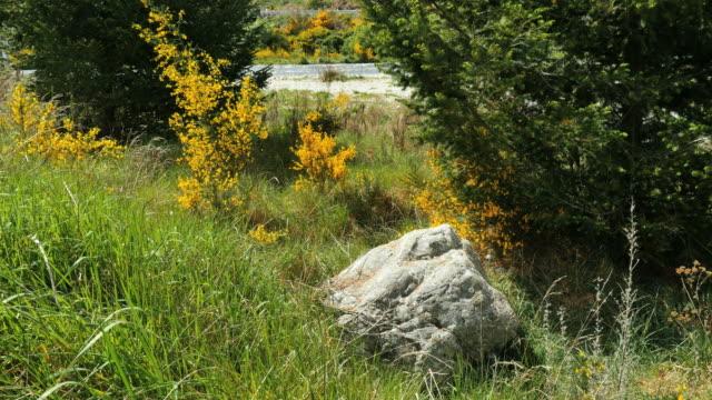 vídeos de stock, filmes e b-roll de new zealand scotch broom and boulder - boulder rock