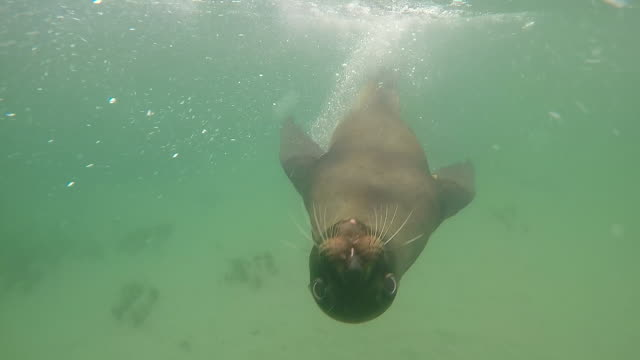 new zealand sea lion, chasing camera underwater - seal animal stock videos and b-roll footage