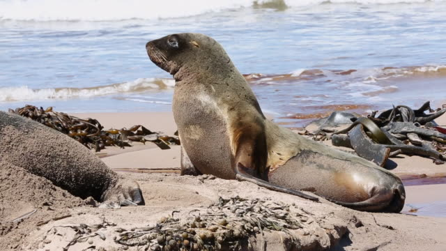 new zealand sea lions on the beach at enderby island - sea lion stock videos & royalty-free footage