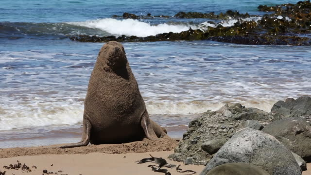 vidéos et rushes de new zealand sea lions on the beach, enderby island - lion de mer