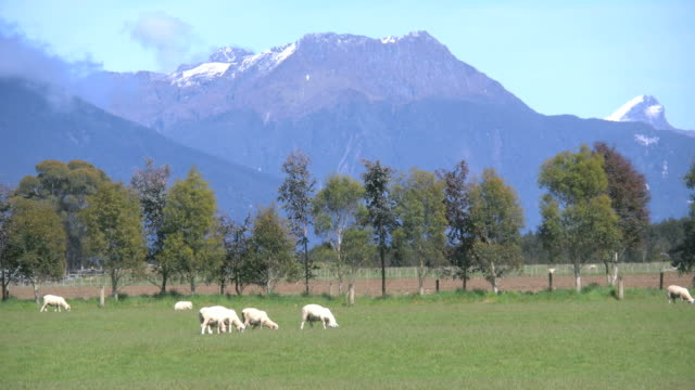 new zealand sheep graze with mountains beyond - new zealand点の映像素材/bロール
