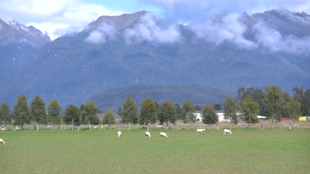 new zealand sheep grazing in green pasture - new zealand点の映像素材/bロール