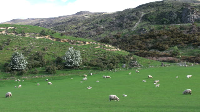 New Zealand sheep in green landscape