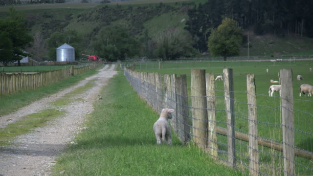 New Zealand sheep lamb by fence turns to lane
