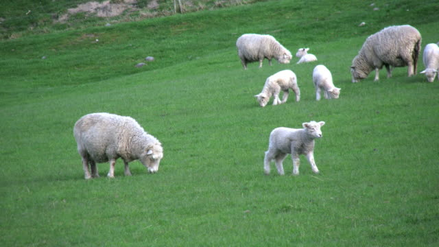 new zealand sheep with several lambs - mittelgroße tiergruppe stock-videos und b-roll-filmmaterial