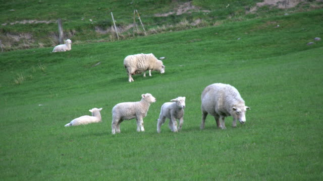 new zealand sheep with two little lambs - mittelgroße tiergruppe stock-videos und b-roll-filmmaterial