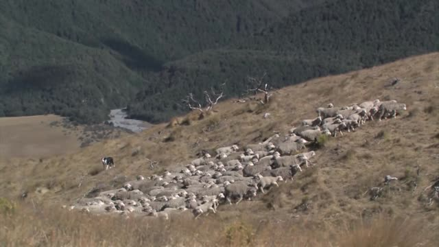 new zealand, south island. a flock of merino sheep being herded by dogs. - merino sheep stock videos and b-roll footage