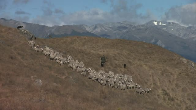 new zealand, south island. a flock of merino sheep being herded by dogs and a shepherd. editorial use only. - 農林水産関係の職業点の映像素材/bロール