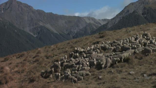 vídeos y material grabado en eventos de stock de new zealand, south island. a flock of merino sheep being herded by dogs. - oveja merina