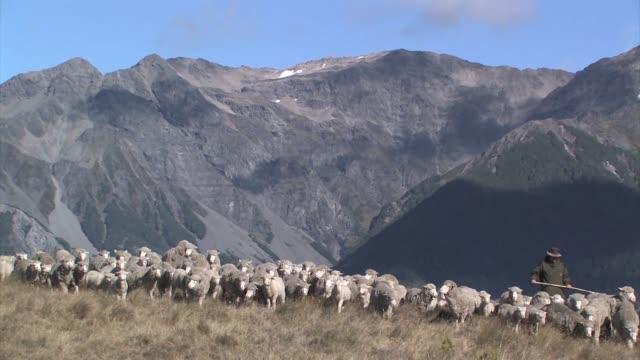 vídeos y material grabado en eventos de stock de new zealand, south island. a flock of merino sheep being herded by dogs and a shepherd. editorial use only. - oveja merina