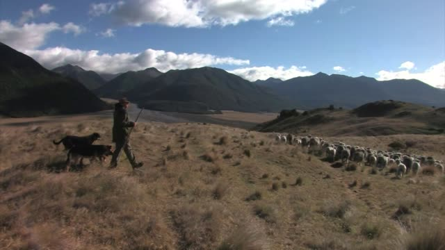 vídeos de stock, filmes e b-roll de new zealand, south island. a flock of merino sheep being herded by dogs and a shepherd. editorial use only. - pastor trabalho agrícola