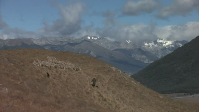 new zealand, south island. a flock of merino sheep being herded by dogs and a shepherd. editorial use only. - merino sheep stock videos and b-roll footage