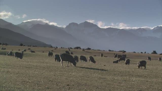 new zealand, south island. a flock of merino sheep. - new zealand stock-videos und b-roll-filmmaterial