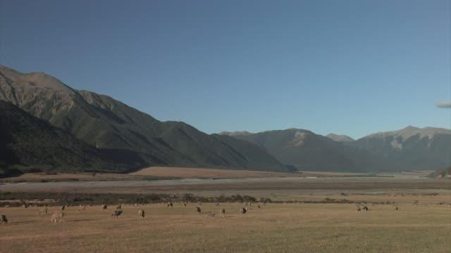 new zealand, south island. a flock of merino sheep. - merino sheep stock videos and b-roll footage