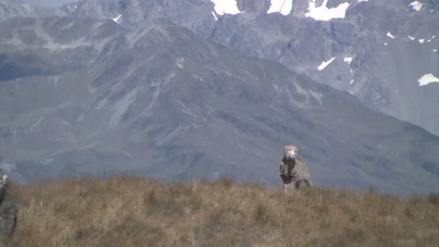 new zealand, south island. a lone merino sheep on a grassy hillside. - merino sheep stock videos and b-roll footage