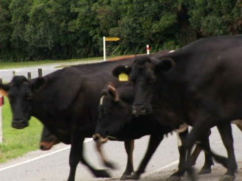 cu, new zealand, south island, cows crossing country road - medium group of animals stock videos & royalty-free footage