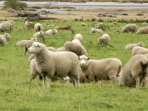 ms, new zealand, south island, flock of sheep in field - medium group of animals stock videos & royalty-free footage