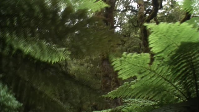 new zealand; southern alps; temperate rainforest - zona arborea video stock e b–roll