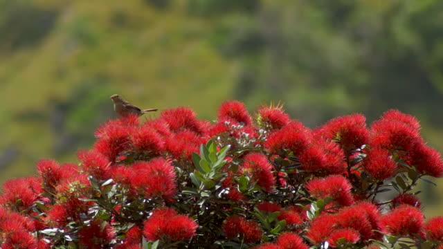 new zealand summer: birds, bees and pahutakawa trees - warbler stock videos & royalty-free footage
