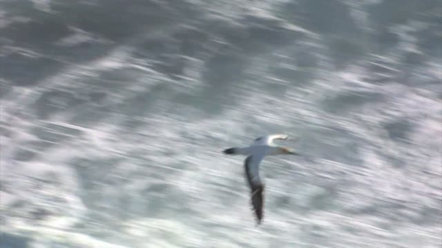 New Zealand, Tasman Sea. Australasian gannet (Morus serrator).