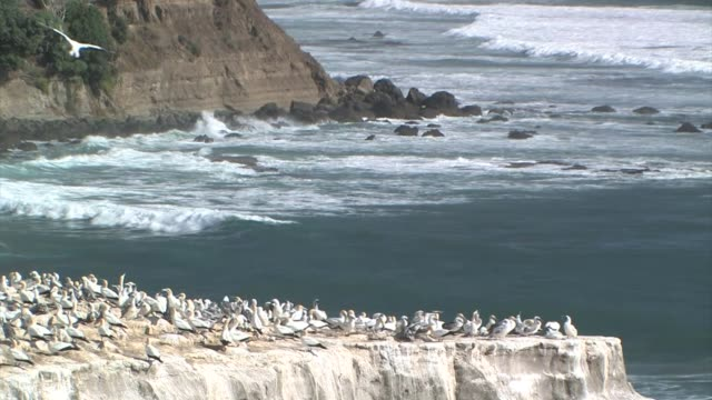 New Zealand, Tasman Sea. Australasian gannets (Morus serrator).