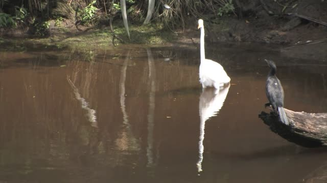 new zealand, waitangiroto nature reserve. a white heron and a cormorant in muddy, still water. - great egret stock videos and b-roll footage