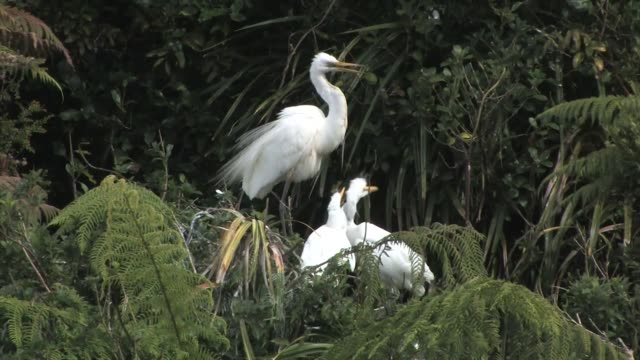 new zealand, waitangiroto nature reserve. close-up of a white heron feeding two immature chicks. - young animal stock videos & royalty-free footage