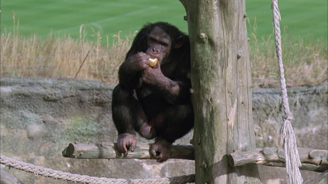 ms, new zealand, wellington zoo, chimpanzee eating pear in natural zoo setting - zoo stock videos & royalty-free footage