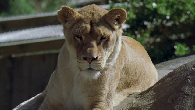 cu, new zealand, wellington zoo, female african lion in natural zoo setting - zoo stock videos & royalty-free footage