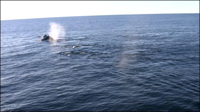 vidéos et rushes de new zealand whales swimming along zooms in - petit groupe d'animaux