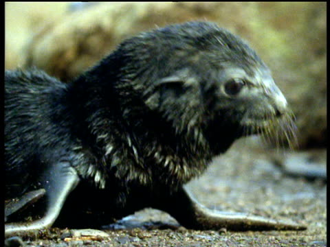 newborn baby fur seal looks dazed, dragged away by mother, antarctic - robbe stock-videos und b-roll-filmmaterial