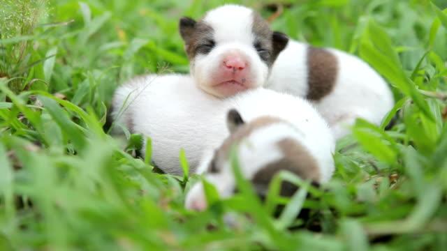 vídeos de stock e filmes b-roll de fofo cachorros nascidos - filhote de animal