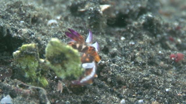 newborn cuttlefish - flamboyant cuttlefish stock videos and b-roll footage