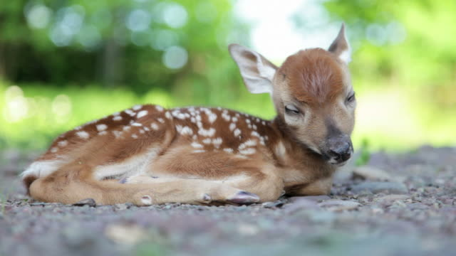 stockvideo's en b-roll-footage met newborn fawn, baby white-tailed deer sleeping in woods (video) - reekalf