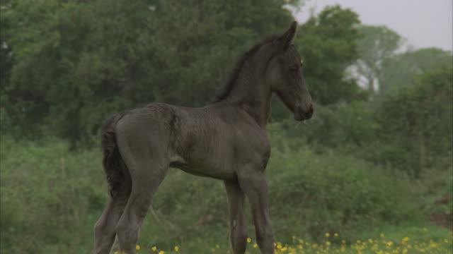 cu, ms, newborn foal on meadow - erste schritte stock-videos und b-roll-filmmaterial