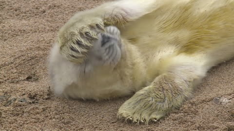cu newborn grey seal pup, farne islands - grey seal stock videos & royalty-free footage