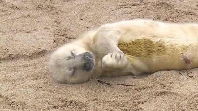 cu newborn grey seal pup, farne islands - northumberland coast stock videos & royalty-free footage