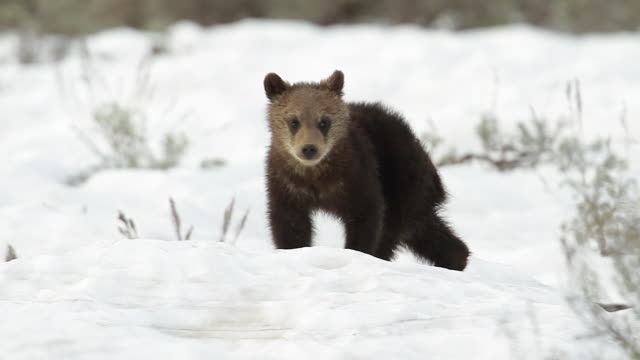 ms newborn grizzly cub (ursus arctos) walking toward the camera after a spring snow - mt moran stock videos & royalty-free footage