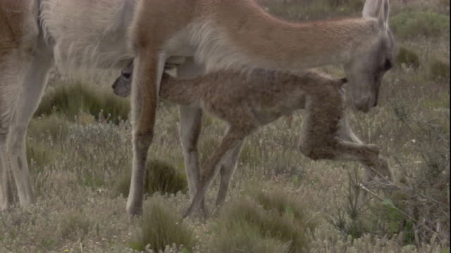A newborn guanaco falls over. Available in HD.