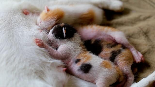 vidéos et rushes de chaton nouveau-né boivent du lait maternel. - nez d'animal