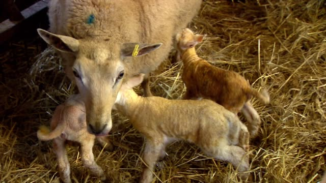 Newborn lambs feeding on their mother in barn on farm in Gloucestershire